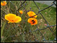 ca-poppies