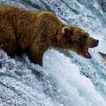 grizzly-bear-eating-salmon-photo01