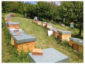 Bee - Making Queens 2014 (5)