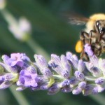 Bees in the yard_France June_ 2015_ (5)